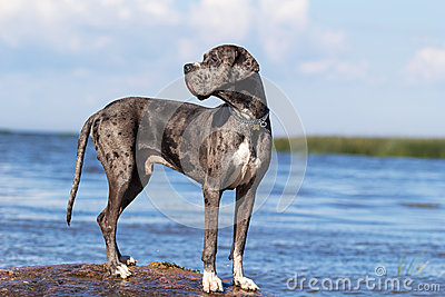 Gray great dane