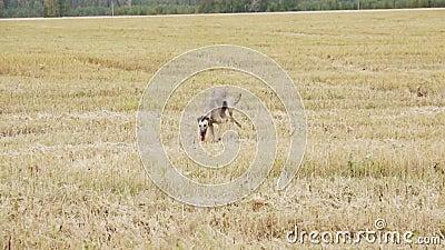 Gray Greyhound kör till kameran arkivfilmer