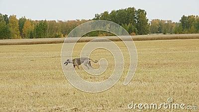 Gray Greyhound stöter ihop med fältet arkivfilmer