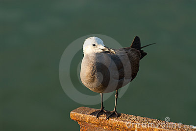 Gray Gull perched