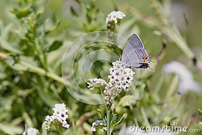 Gray Hairstreak Butterflly