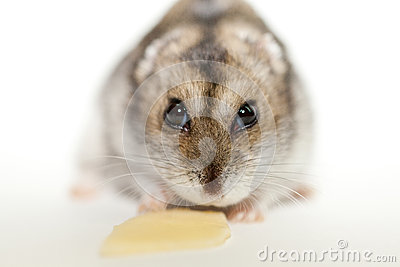 Gray hamster eating cheese