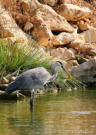 Gray heron with golden fish