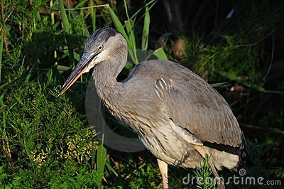 Gray Heron hunting in the night
