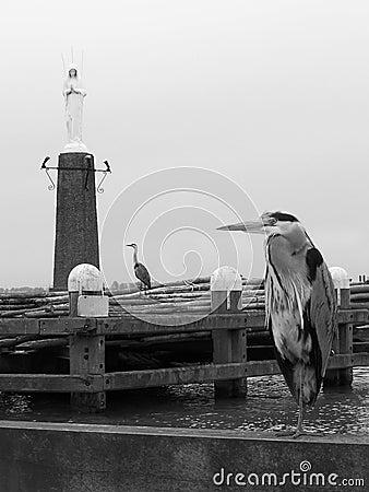 Gray herons