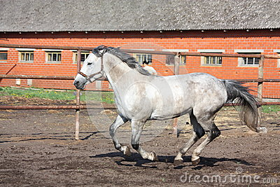 Gray horse galloping in the paddock