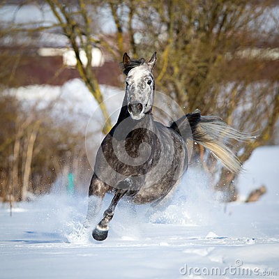 Gray horse gallops on winter background