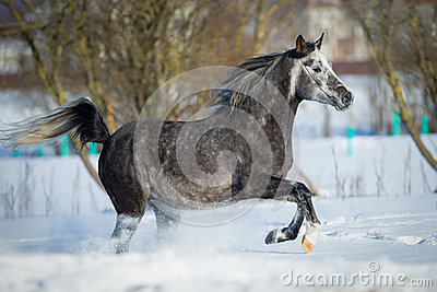 Gray horse gallops in winter background