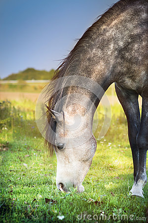 Free Gray Horse Grazed , Close Up Royalty Free Stock Photography - 50853977