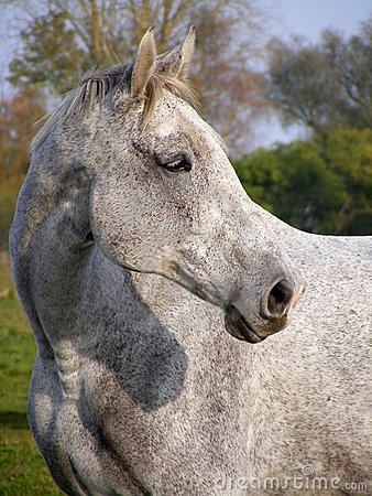 Gray horse portrait