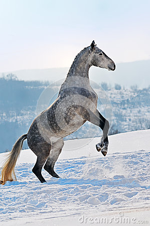 Gray horse rearing on snow