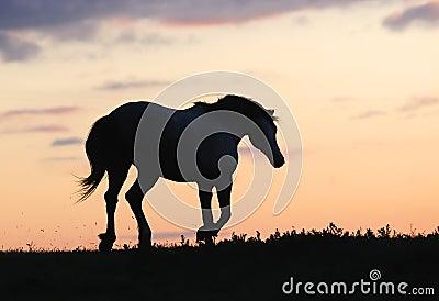 Gray horse running on hill on sunset