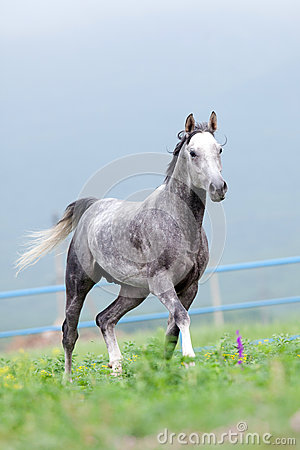 Gray horse runs in the meadow