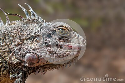 Gray Iguana Free Public Domain Cc0 Image