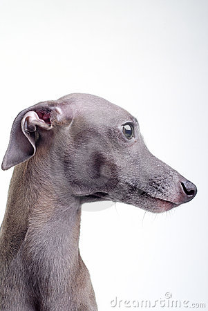 Gray Italian greyhound