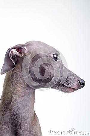 Gray Italian greyhound