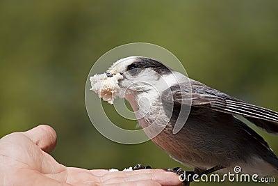 Gray Jay (Perisoreus canadensis) Feeding from Hand