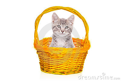 Gray kitten in a basket