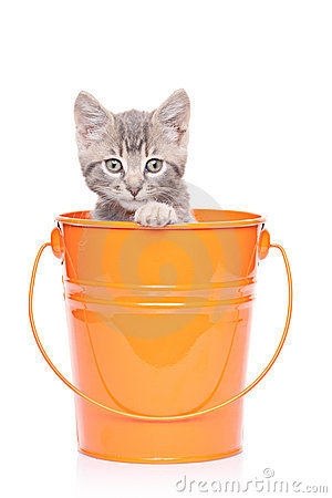 Gray kitten in a bucket