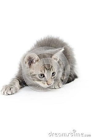 Gray kitten hunting