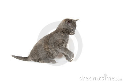 Gray kitten pouncing