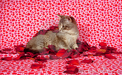 Gray kitten and rose petals