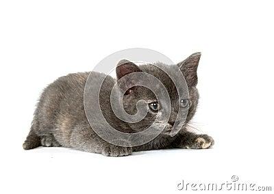 Gray kitten stalking