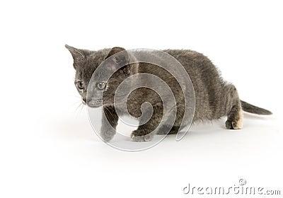 Gray kitten stalking prey