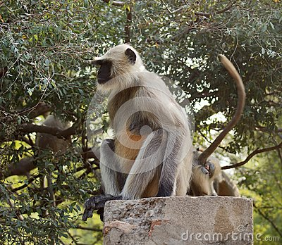Gray Langur Royalty Free Stock Photos - Image: 26566388