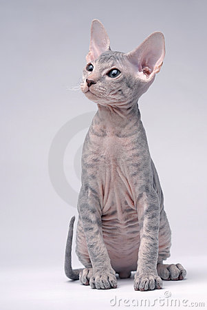 Gray Peterbald cat, Oriental Shorthair