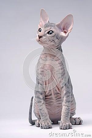 Gray Peterbald cat, Oriental Shorthair