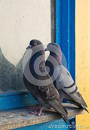 Free Gray Pigeons Stock Photo - 10024430