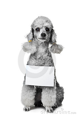 Gray poodle dog with tablet for text on isolated w