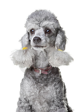 Gray poodle with leather collar on isolated white