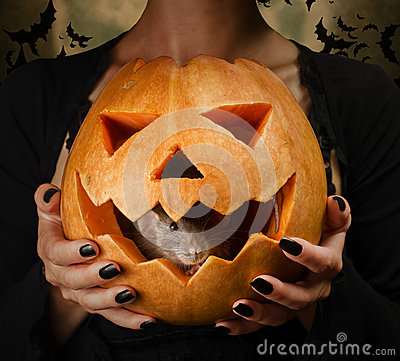 Gray rat sits in a carved pumpkin