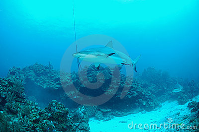 Gray reef sharks