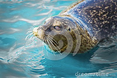 Gray seal in blue water