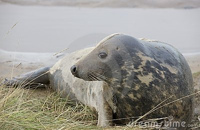 Gray Seal (Halichoerus Grypus) lying down