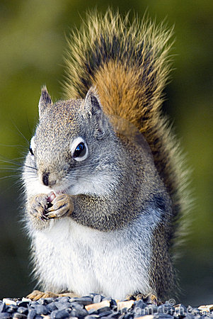 Free Gray Squirrel Stock Images - 12420484