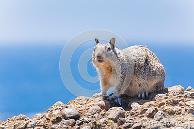 Gray Squirrel Royalty Free Stock Image - Image: 25522956
