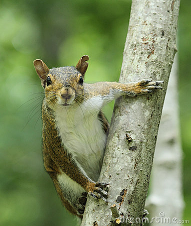 Free Gray Squirrel On Tree Trunk Stock Photography - 20401262
