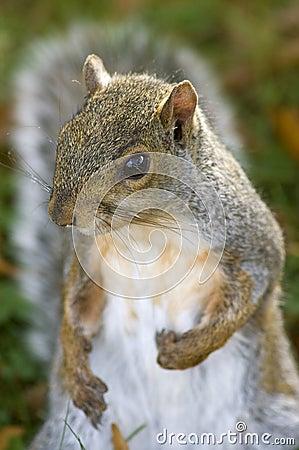 Gray Squirrel Portrait - Who Me?