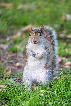 Free Gray Squirrel Standing Stock Image - 107573481