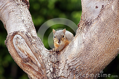 Gray Squirrel Tree Staring