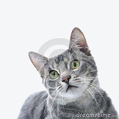 Gray striped cat.