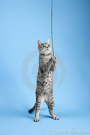 Gray striped cat playing with toy.