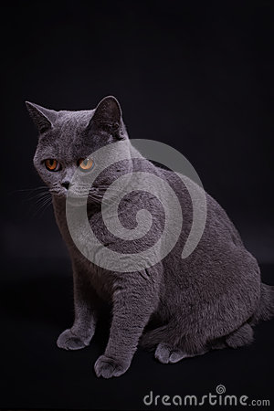 Gray thoroughbred British cat