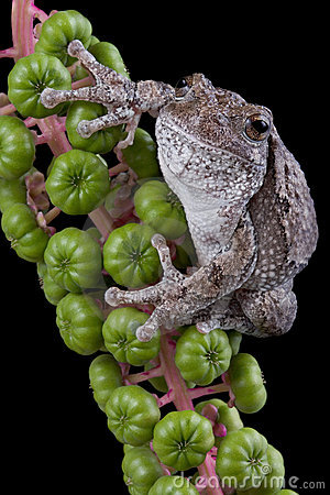 Gray tree frog on poke weed
