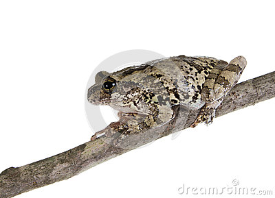 The gray tree frog on a stick