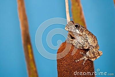Gray Treefrog (Hyla versicolor)